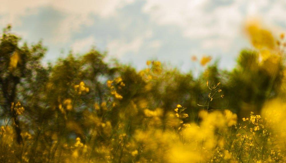 nature-field-flowers-yellow
